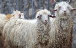 Ангорская порода коз — лидер шерстяного производства