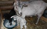 Чем кормить домашнюю козу