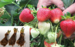 Клубника Фриго или новейшие агротехнологии на службе клубничного бизнеса