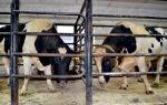 Кормление и содержание быков производителей