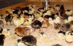 Самостоятельное выращивание цыплят в домашних условиях
