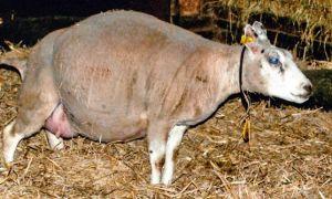 Сколько домашняя овца вынашивает ягненка