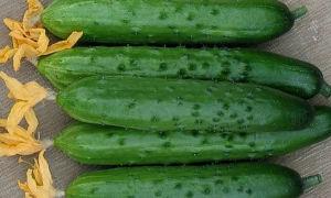 Огурец сорта зозуля: особенности посадки и выращивания