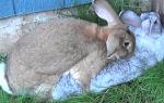 Размножение домашних кроликов