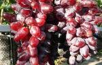 Виноград сорта байконур: особенности выращивания и ухода
