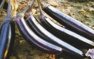 Баклажан сорта король севера: особенности выращивания и ухода