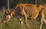 Лейкоз крови у коров – причины и разновидности заболевания, а также основные симптомы и методы лечения