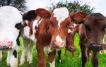 Породы племенных коров разного направления – описание и характеристика