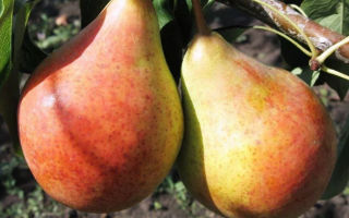 Груша сорта бера: особенности посадки, выращивания сочных плодов от урожайных деревьев