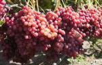 Особенности выращивания и посадки винограда сорта велес