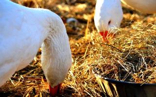 Чем можно кормить домашних гусей