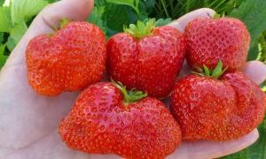 Клубника сорта флоренс: особенности посадки и выращивания
