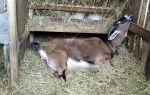 Выкидыш у домашней козы: что делать