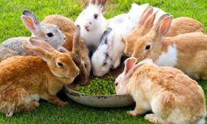 Можно ли кроликам давать горох и другие бобовые культуры