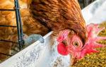 Правильный рацион для домашних кур: суточная норма, состав