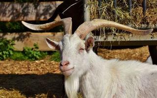 Как правильно кастрировать козла