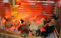 Обогрев цыплят в домашних условиях