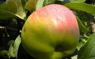 Яблоня крупносортная высокоплодоносная Богатырь
