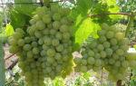 Виноград сорта Гарольд