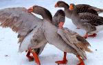 Тульские бойцовые домашние гуси