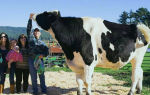 Самый большой бык в мире