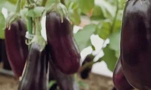 Баклажан сорта Эпик: особенности выращивания и хранения