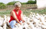 Тонкости выращивания гусиного хозяйства