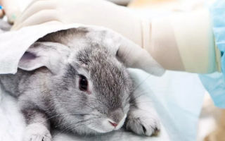 Способы кастрации домашних кроликов