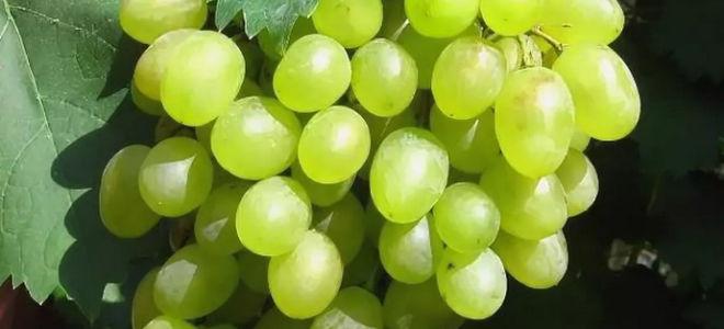 Виноград десертного сорта Алешенькин