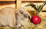 Можно ли домашним кроликам давать красную свеклу
