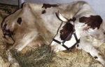 Парез у домашних и фермерских коров в период отела