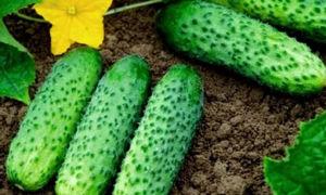 Огурец сорта маша: особенности ухода и выращивания