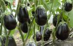 Баклажан сорта клоринда: особенности посадки и выращивания