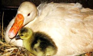 Сколько обычно живут гуси домашние