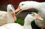 Как распознать и лечить болезни гусей