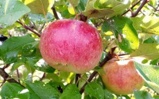 Яблоня сорта Джонатан: особенности посадки и выращивания
