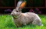 Породистые кролики великаны: основные виды