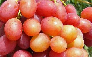 Виноград сорта Анюта