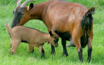 Чешские короткошерстные козы — производители вкусного мяса и молока