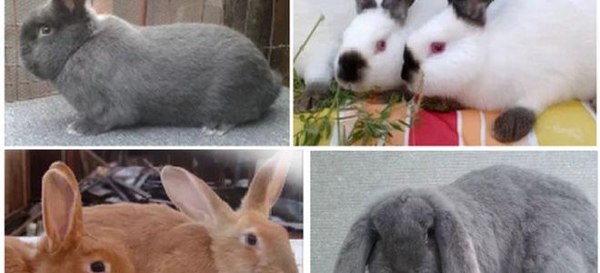 Распространенные породы домашних кроликов