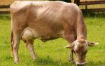 Швицкая порода домашних и промышленных коров