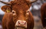 Когда и почему у сельскохозяйственной коровы меняются зубы
