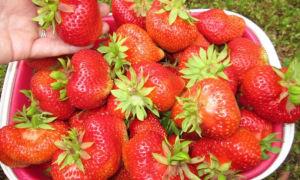Клубника сорта кимберли: особенности выращивания, ухода и хранения