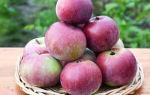 Яблоня позднего осеннего сорта Алеся