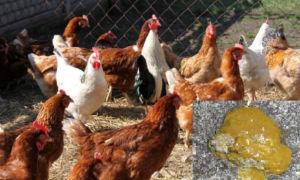 У домашней курицы желтый понос: причины, лечение, профилактические меры