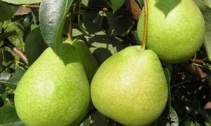 Груша сорта бергамот: особенности посадки и выращивания