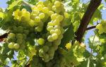 Виноград сорта валек: особенности выращивания и ухода