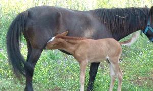 Как выкормить новорожденного жеребенка без матери