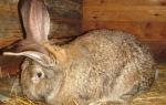 Болезни кроликов: профилактика, симптомы, лечение.