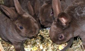 Можно ли домашним кроликам давать кабачки